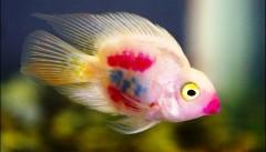 ماهی تزئینی