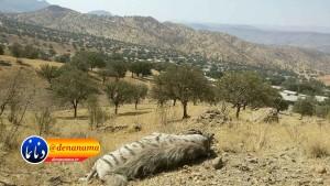 کفتار کوه دنا (۴)