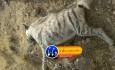 کفتار کوه دنا (۹)