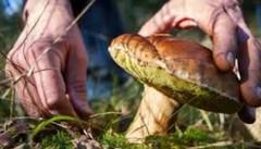 قارچهای سمی