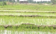 برنجکاری